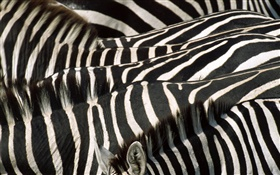 Zebra, black and white stripes HD wallpaper