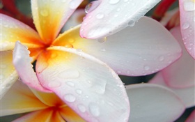 plumeria close-up, water droplets