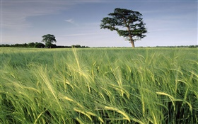 Barley field, trees, North Somerset, England HD wallpaper