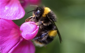 Bee close-up, insect, pink flower HD wallpaper