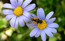 Blue daisy flowers, bee HD wallpaper