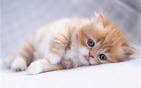 Blue eyes kitten sleep HD wallpaper