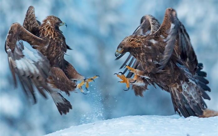 Eagle, two birds, snow, winter Wallpapers Pictures Photos Images