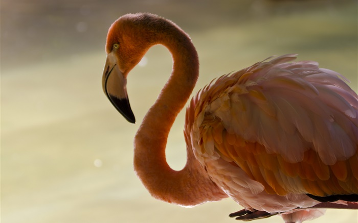 Flamingo close-up, bird, neck, feathers Wallpapers Pictures Photos Images