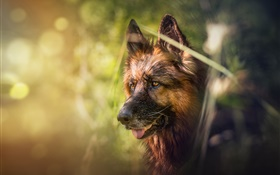 German shepherd, dog, face, bokeh HD wallpaper