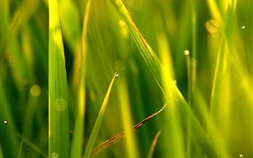Grass, leaf, point, water drops, sunlight HD wallpaper