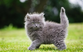 Gray fluffy kitten in the grass HD wallpaper