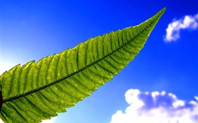 Green leaf, blue sky HD wallpaper