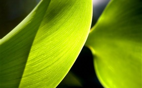Green leaf macro photography, light HD wallpaper