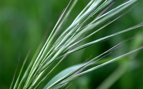 Green wheat close-up HD wallpaper