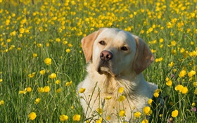 Labrador Retriever, dog in the flowers HD wallpaper