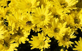 Many yellow daisy, bee, insect HD wallpaper