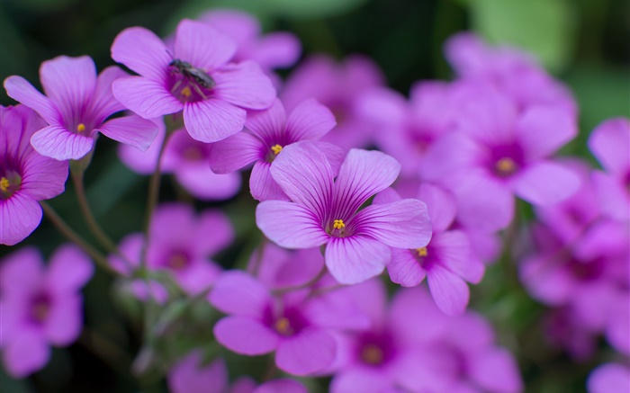 Oxalis, purple flowers, petals, macro photography Wallpapers Pictures Photos Images