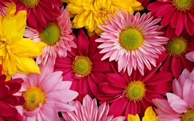 Pink chrysanthemums, colorful HD wallpaper