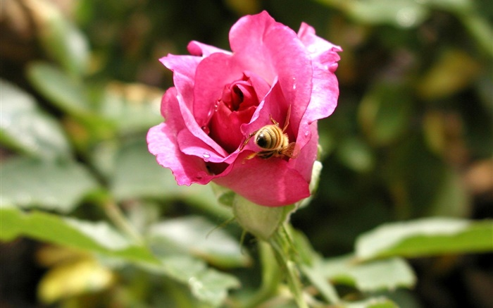 Pink rose flower, dew, bee Wallpapers Pictures Photos Images