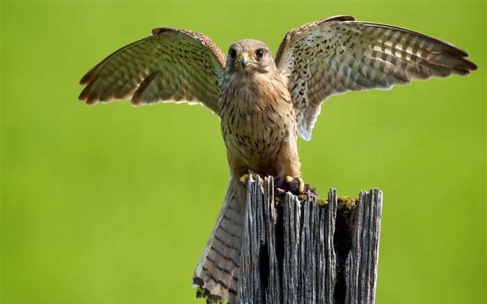 Predator, owl, wings, stump Wallpapers Pictures Photos Images