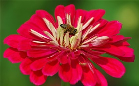Red petals flower, bee, green background HD wallpaper
