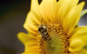 Sunflower, bee close-up HD wallpaper