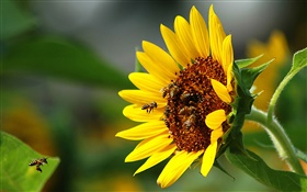 Sunflower, bee, insect HD wallpaper