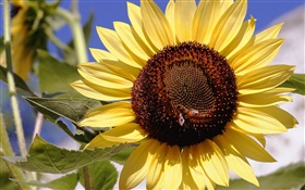 Sunflower, yellow petals, pistil, bee, insect HD wallpaper