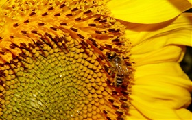 Sunflower, yellow petals, pistil, bee HD wallpaper