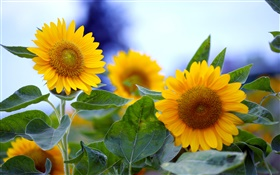 Sunflowers close-up, yellow flowers HD wallpaper