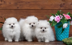 Three white puppies, rose flowers HD wallpaper