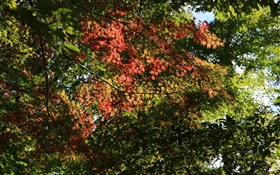 Trees, maple leaves, green and red, sunlight, autumn HD wallpaper