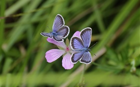 Two butterflies, grass, flower, bokeh HD wallpaper