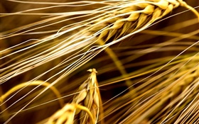 Wheat close-up HD wallpaper