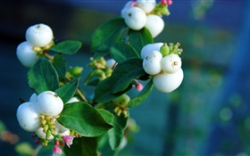 White berries, leaves, branch, bokeh