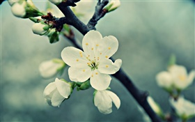 White cherry flowers, petals, spring, bloom HD wallpaper