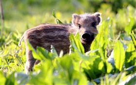 Wild hog, cub, grass HD wallpaper