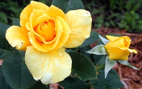 Yellow rose flowers HD wallpaper