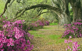 Azaleas, trees, grass, alley, South Carolina, USA HD wallpaper