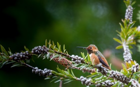 Bird close-up, twigs, berries HD wallpaper