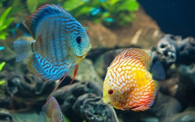 Blue and yellow fish, underwater, coral reef