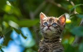 Blue eyes kitten look up HD wallpaper