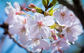 Cherry flowers bloom, spring