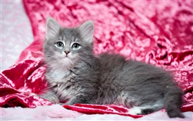 Cute gray kitten, red background HD wallpaper