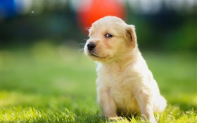 Cute puppy in grass, golden retriever HD wallpaper