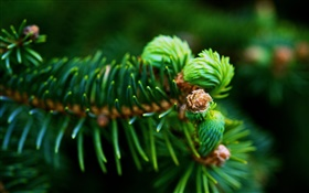 Fir branches, green needles, plants close-up