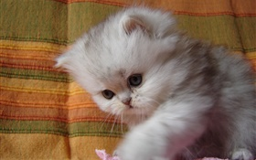 Fluffy kitten baby HD wallpaper