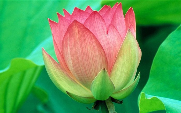 Green leaves, pink lotus, petals Wallpapers Pictures Photos Images