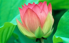 Green leaves, pink lotus, petals