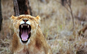 Lion yawn, sharp teeth HD wallpaper