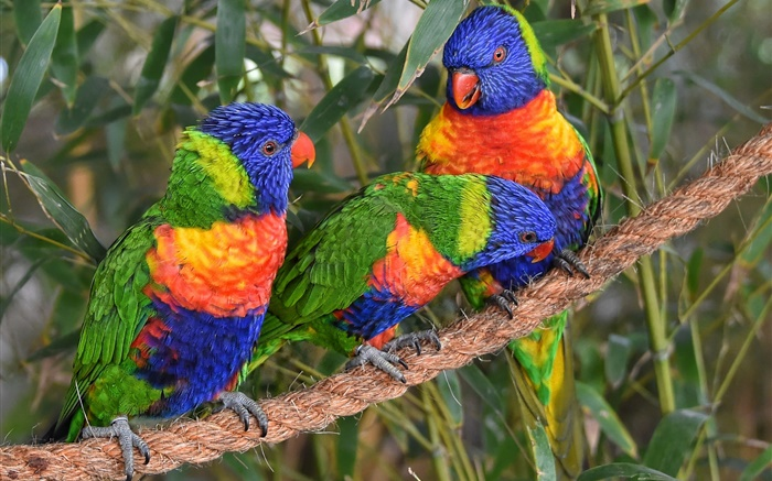 Multicolor lorikeet, parrots, three birds Wallpapers Pictures Photos Images