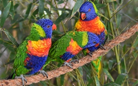 Multicolor lorikeet, parrots, three birds