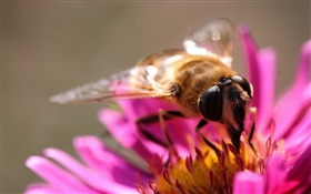 Pink petals flower, insect bee, pistil HD wallpaper