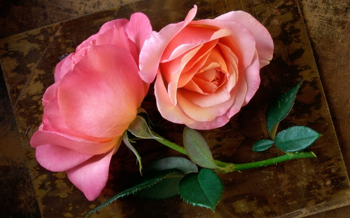 Pink roses, stem, leaf Wallpapers Pictures Photos Images